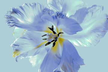 Fototapeta Do sypialni tulipe perroquet