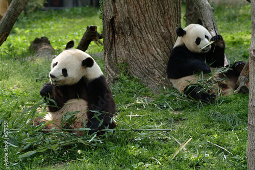 Photo giant pandas feeding