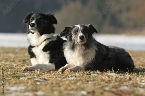 Canvas 2 border collies
