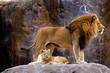 animal - african lion (panthera leo krugeri)