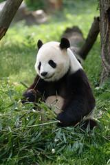 Fototapeta giant panda