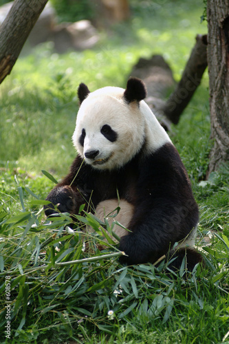Canvas Prints Panda giant panda