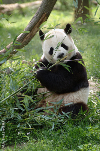Photo giant panda bear