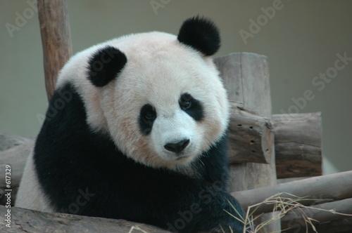 Photo panda 02