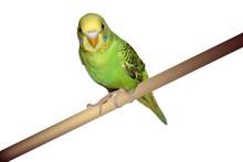 Perched Parakeet
