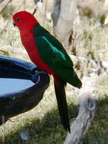Fotografie, Obraz  king parrot