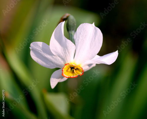 Papiers peints Narcisse loneliness of a flower