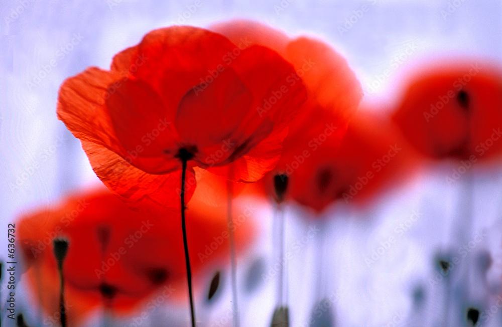 Fototapety, obrazy: Roter Mohn, Klatschmohn, Blume des Jahres 2017, Copy space