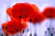 Roter Mohn, Klatschmohn, Blume des Jahres 2017, Copy space