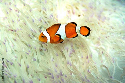 Fotografie, Tablou  clown fish
