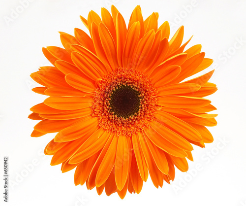 Poster Gerbera daisy