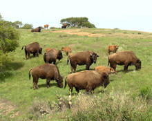 Bison Herd At Catalina Island,...