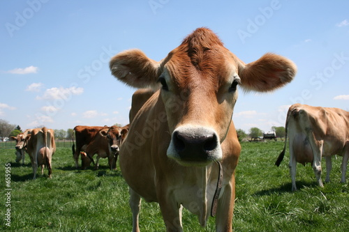 Photo Stands Cow jersey cow