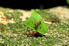 Leaf Cutter Ant Fourmi