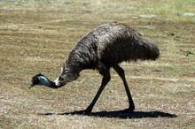 Emu Feeding
