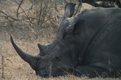 Poster Rhino white rhino and red-billed oxpecker