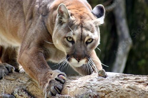 Spoed Foto op Canvas Puma puma