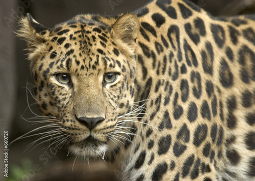 close up of an amur leopard
