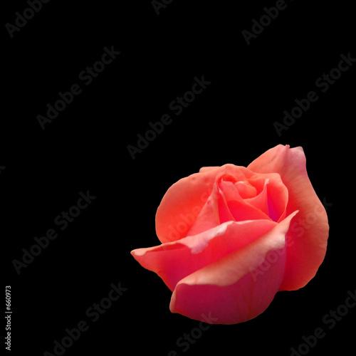 Fényképezés  rose