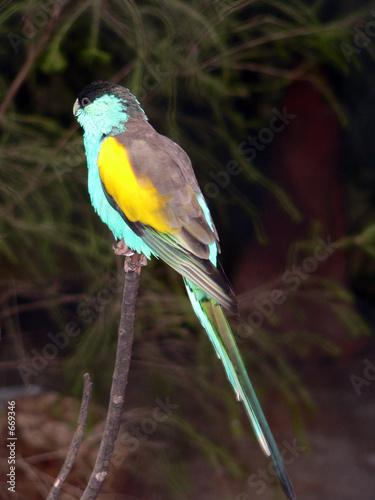 Fotografie, Obraz  golden shouldered parrot
