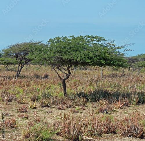 Photo  divi divi tree