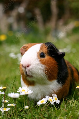 Fotografía  guinea pig with flowers