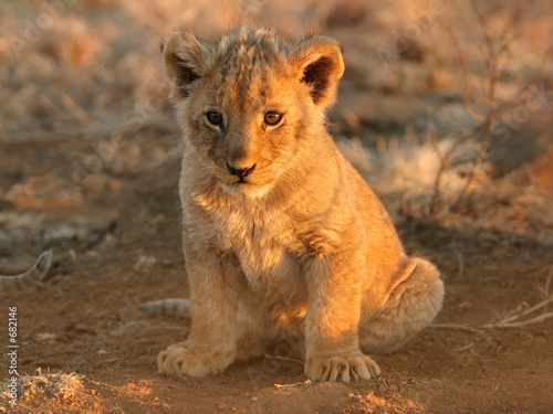 Canvas Print lion cub