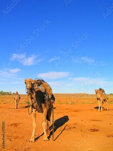 Fotografering  camello