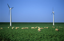 Sheep In The Windpark