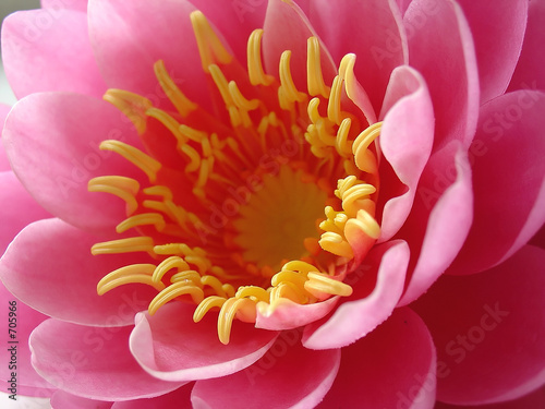 pink water lily - macro - 705966