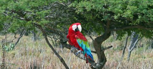 parrot on divi-divi Canvas Print