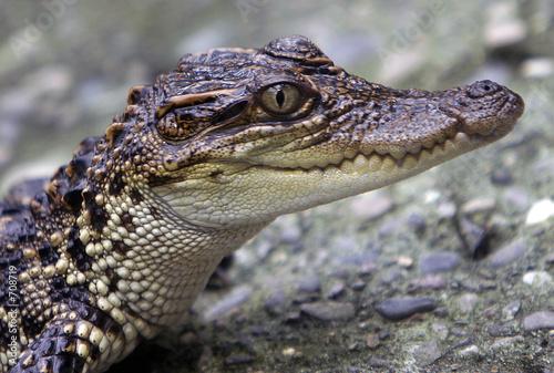 Door stickers Crocodile krokodil portrait