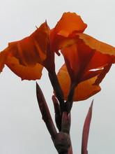 Cannaceae, Canna Indica Tropic...