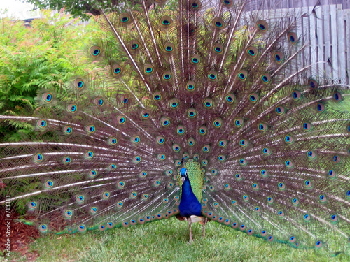 Valokuva  peacock