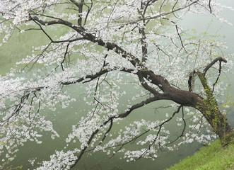 Fototapetacherry tree