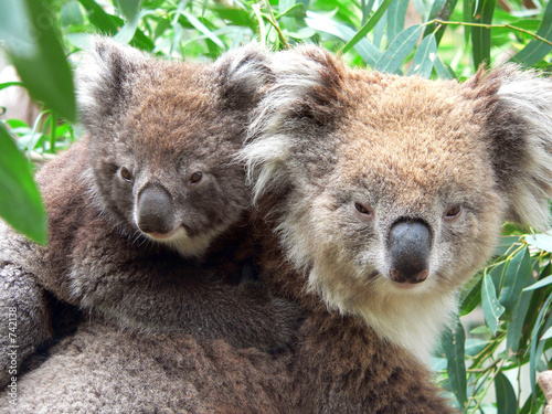 portrait of a mother and son koala