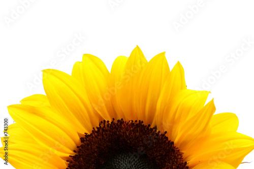 Foto-Leinwand ohne Rahmen - sunflower detail over white (von Juan Jose Gutierrez )
