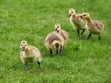 Five Goslings