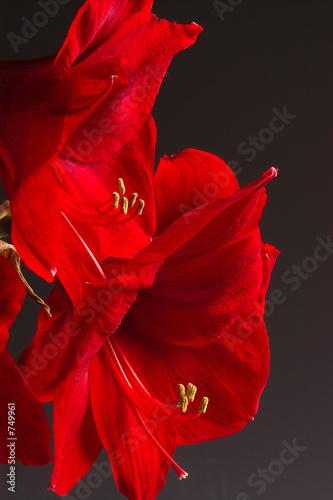 Photo amaryllis rouge 2