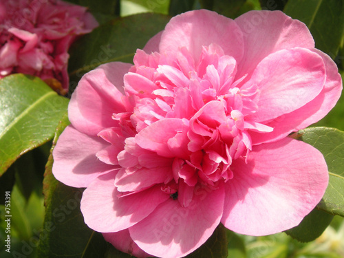 Photo pink camellia