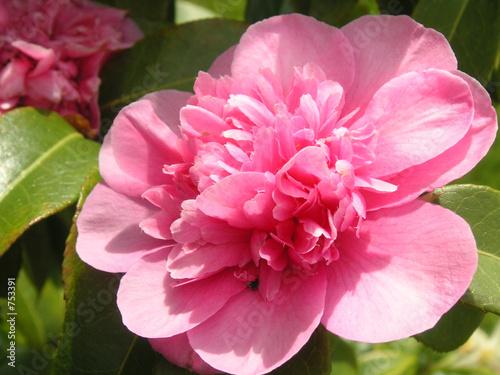 Photo  pink camellia