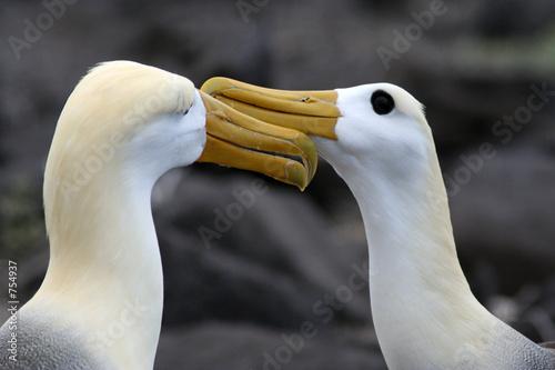 Obraz na plátně parade nuptiale des albatros des galapagos