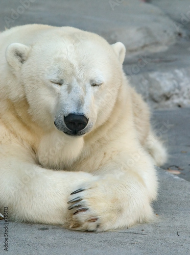 Photo sleepy polar bear