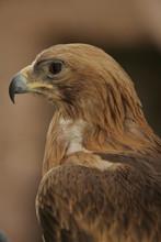 Aigle Royal De Profil