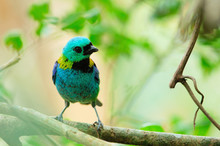 Oiseau Seven-colored Tanager T...