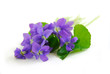 violets on white background