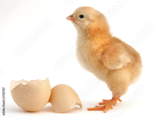 Obraz na płótnie chick new born