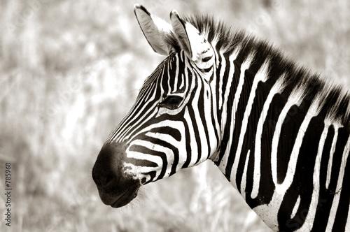 Poster Zebra profile of zebra