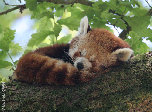 Photo  red panda asleep