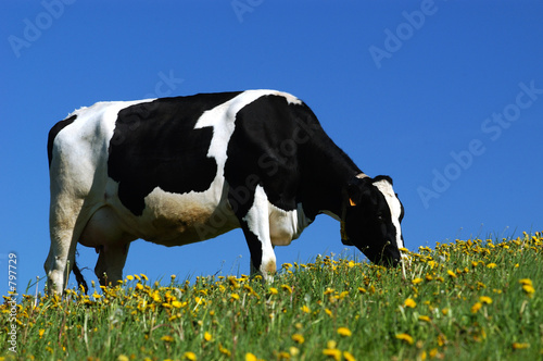 Canvas Print vache